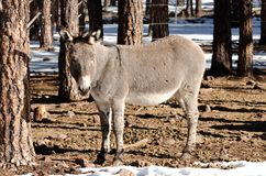 Winter Mule. A mule standing during the winter time in Northern Arizona Stock Photos