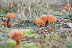 Winter Mushrooms in Frost. Orange mushrooms sprout in grass on a frosty morning stock images