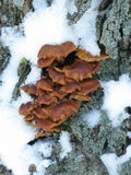 Winter mushrooms and snow. Group of small winter mushrooms on a tree and a bit snow, vertical picture Stock Images