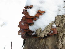 Winter mushrooms and snow. Group of small winter mushrooms on a tree, snow-capped Stock Image