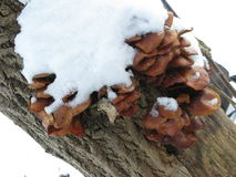 Winter mushrooms and snow. Group of small winter mushrooms on a tree, snow-capped Royalty Free Stock Photography