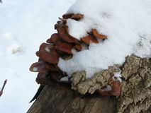 Winter mushrooms and snow Royalty Free Stock Images