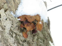 Winter mushrooms and snow. Group of small winter mushrooms on a tree, snow-capped Stock Photo