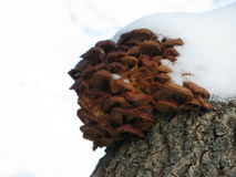 Winter mushrooms and snow. Group of small winter mushrooms on a tree, snow-capped Royalty Free Stock Photos