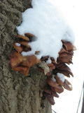 Winter mushrooms and snow. Group of small winter mushrooms on a tree, snow-capped, vertical shot Stock Image