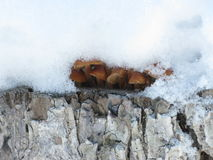 Winter mushrooms and snow Royalty Free Stock Image