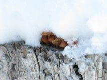 Winter mushrooms and snow. Little winter mushrooms on the top of stump under snow Stock Photo