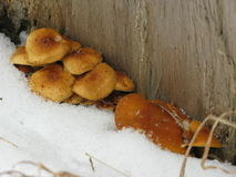 Winter mushrooms and snow. Small group of winter mushrooms between a thick tree and snow Stock Photography