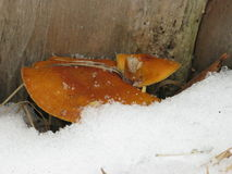 Winter mushrooms and snow. Winter mushrooms between a thick tree and snow-cover Royalty Free Stock Photo