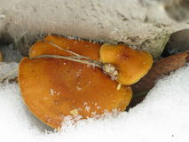 Winter mushrooms and snow. Winter mushrooms between a thick tree and snow-cover Stock Photos