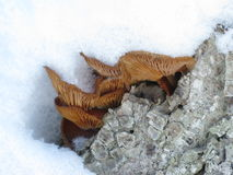 Winter mushrooms and snow. Winter mushrooms on a tree under snow Stock Images
