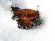 Winter mushrooms and snow Royalty Free Stock Photography