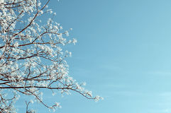 Winter natural toned background - frosty trees tops on the background of blue sky Stock Photos