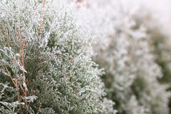 Winter nature background. Frosted trees with selective focus royalty free stock photo