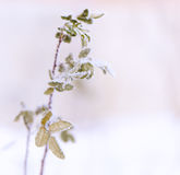 Winter nature background. Frozen flower Royalty Free Stock Photo