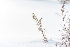 Winter nature background. Frozen flower Stock Photography