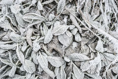 Winter nature background with leaves of plant  covered in white hoar frost and ice crystal formation Royalty Free Stock Photography