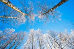Winter nature background - tree branches in ice on blue sky background. Winter nature winter frosted tree-tops. Winter background-frosty branches of winter stock photos