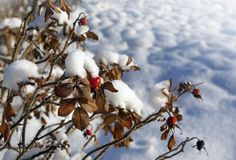 Winter nature, trees  and berries in snow frost Royalty Free Stock Photography