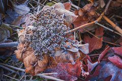 Winter nature, dry brown flowers in frost, gardens in coldness season. Nice dry Hortensia in all covered with white hoarfrost, closups royalty free stock image