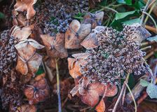 Winter nature, dry brown flowers of Hortensia with white hoarfrost, gardens in coldness season. A nice pattern of dry Hydrangea, covered with white frost royalty free stock photos