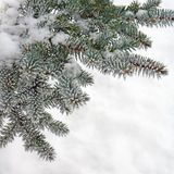 Winter nature, fir tree in snow frost Royalty Free Stock Image