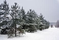 Winter nature, fir trees in park Stock Photo