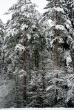 Winter nature. the first snow in the forest Royalty Free Stock Photography