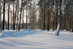 Winter nature, forest Royalty Free Stock Photography