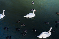 Winter nature.Lake. Birds. Stock Photo
