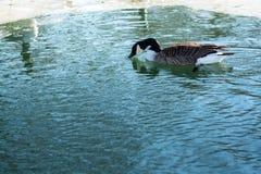 Winter nature.Lake. Birds. Royalty Free Stock Photo