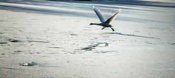 Winter nature.Lake. Birds. Stock Photos