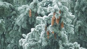 Winter nature - pine branches with snow swaying in the wind stock footage