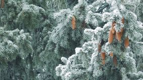 Winter nature - pine branches with snow swaying in the wind stock video footage