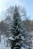 Winter nature Siberian taiga Stock Image
