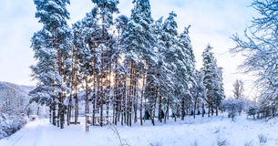 Winter nature snow Russian Christmas tree Tree mountains cold wh Royalty Free Stock Photo