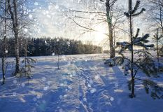 Winter nature, snowy trees in forest Stock Images