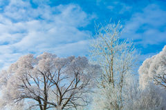 Winter nature on a Sunny day. Branches in snow on blue sky background in winter Stock Image