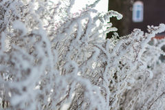 Winter nature on a Sunny day. Branches in snow on blue sky background in winter royalty free stock photo