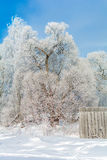 Winter nature on a Sunny day. Branches in snow on blue sky background in winter royalty free stock photography