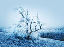 Winter nature tree. Dramatic snow covered winter tree with branches in the sky, nature background stock photography