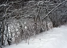 Winter nature, trees in forest Royalty Free Stock Photography