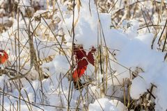 Winter nature under the first snow on a sunny day. Royalty Free Stock Image