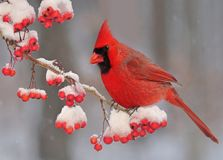 Winter northern cardinal. A beautiful male Northern Cardinal on a snowy branch full of red hawthorn berries Royalty Free Stock Photography