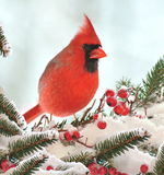 Winter Northern Cardinal (Cardinalis cardinalis). A male Northern Cardinal on a snowy  festive spruce branch laden with red berries Royalty Free Stock Photo