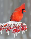 Winter Northern Cardinal On Icy Berries Royalty Free Stock Images