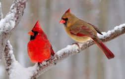 Winter Northern Cardinal Pair Royalty Free Stock Photography