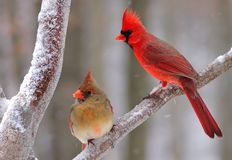 Winter Northern Cardinal pair (Cardinalis cardinalis) Stock Images