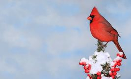Winter Northern Cardina (Cardinalis cardinalis) Stock Photo