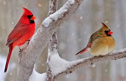 Free Winter Northern Cardinals Royalty Free Stock Photography - 37250727